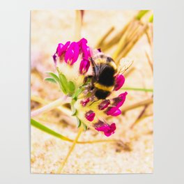 bumble been on a dune flower Poster