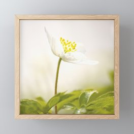 Wood Anemone Blooming in Forest Framed Mini Art Print