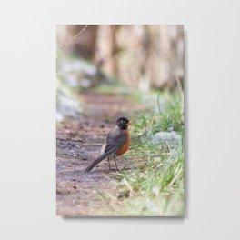 Robin in the Path Metal Print