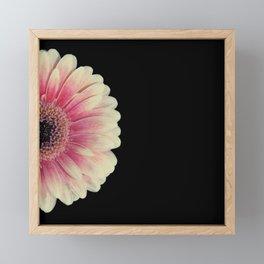 colored summer ~ pink and black gerbera Framed Mini Art Print