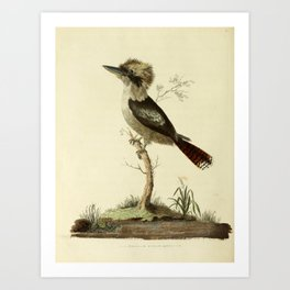 """""""Great Brown King's Fisher"""" by Sarah Stone, 1790 Art Print"""