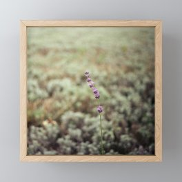 Lone lavender square Framed Mini Art Print