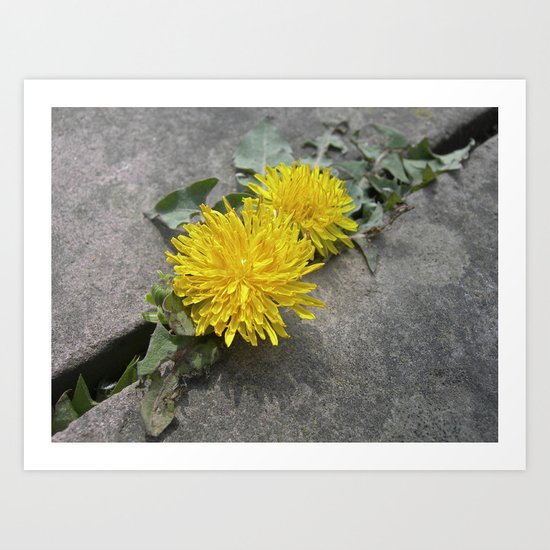 yellow dandelion bloom XII Art Print