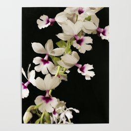 Calanthe rosea Orchid Poster