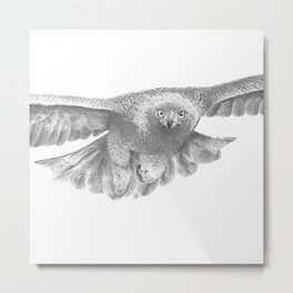 Golden eagle in flight, Aquila Chrysaetos Metal Print