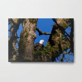 Perching Eagle2 Metal Print