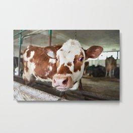 Calf in stalls at farm Metal Print