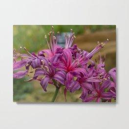 Pink Nerine Flowers  Metal Print