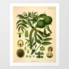 Botanical Print: Lime Blossom / Citrus aurantiifolia Art Print