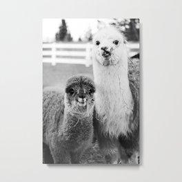 funny hungry alpacas Metal Print