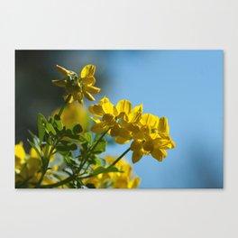 Yellow Spring (coronilla) 11 Canvas Print