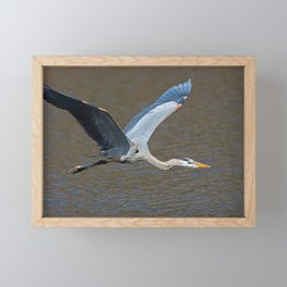 Tri-colored Heron in Flight Framed Mini Art Print