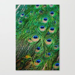 Peacock Passion Canvas Print