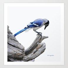 Blue Jay II Art Print