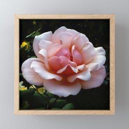 Pale Pink Rose Flower Close-up Framed Mini Art Print