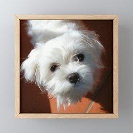 Cute Maltese asking for a treat Framed Mini Art Print