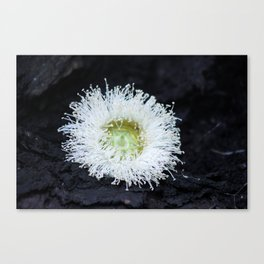 eucalyptus flower Canvas Print