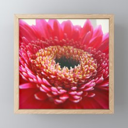 Red Germini Close up Framed Mini Art Print