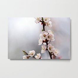 Elegant Japanese Apricot Flowers On Grey Metal Print