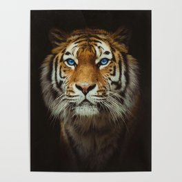 Wild Tiger with Blue eyes Poster