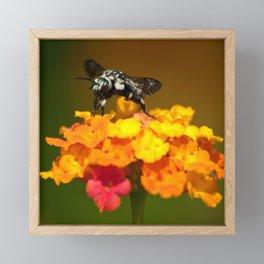 Black bee feeding on yellow flowers Framed Mini Art Print