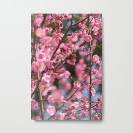 Plum Blossoms Japanese Ume Tree in Early Spring Photography Metal Print