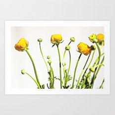 Golden Yellow Ranunculus Flowers on White Art Print
