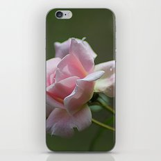 Pink Garden Rose iPhone & iPod Skin