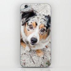 Australian Shepherd iPhone & iPod Skin