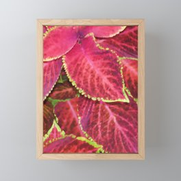 Coleous pot plant Framed Mini Art Print
