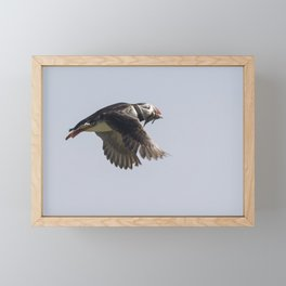 Atlantic puffin in flight with her sand eels Framed Mini Art Print