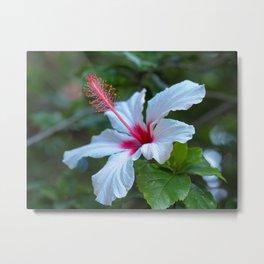 White Hibiscus Metal Print