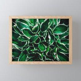Hosta undulata albomarginata vibrant green plant leaves Framed Mini Art Print