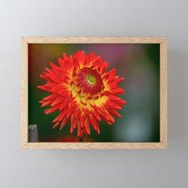 Red & Yellow Dahlia Framed Mini Art Print