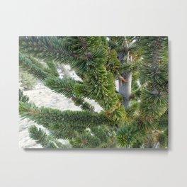Bristlecone pine needles Metal Print