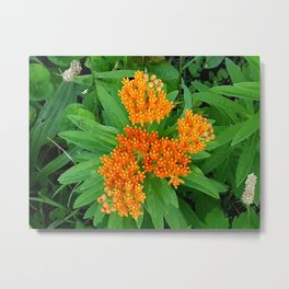 Butterfly Weed Plant Metal Print