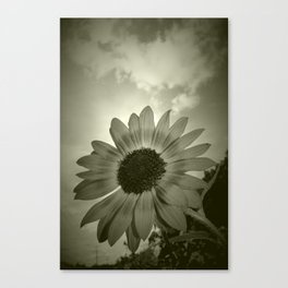 Tired Sunflower Canvas Print