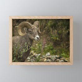 Ram Eating Fireweed Framed Mini Art Print