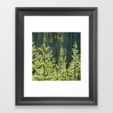 Young Lodgepole Pines after a rain Framed Art Print