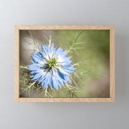 Blue flower close up Nigella love in the mist Framed Mini Art Print