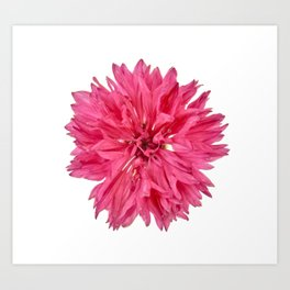 Pink Cornflower Art Print