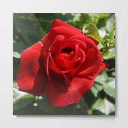 Beautiful Climbing Red Rose Close Up Photograph Metal Print