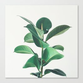Rubber Fig Canvas Print