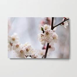 Delicate Japanese Apricot Flowers On Grey Metal Print