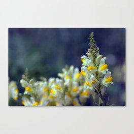 Toadflax flowers 5067 Canvas Print