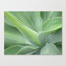 Green Agave Attenuata Canvas Print