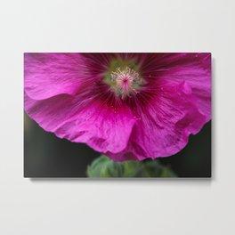 Magnificent pink flower of Rose Mallow, Lavatera Ruby Regis, Lavatere a Grandes Fleurs Metal Print