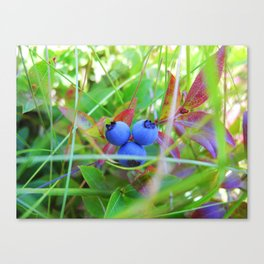 Maine Blueberries Canvas Print