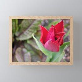 Aging Red Tulip Framed Mini Art Print