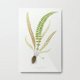 Asplenium Trichomanes (Maidenhair Spleenwort) from Ferns  British and Exotic (1856-1860) by Edward J Metal Print